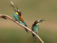 PSA Honorable Mention - Lajos Nagy (Romania)  - Bee eaters with grasshoppers