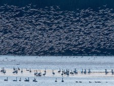 Master of Light Diploma - Benfu Huang (USA)  - Snow Geese Migration 3