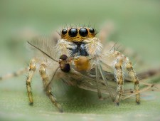 Master of Light Silver - kutub uddin (United Kingdom)  - Jumping spider with prey