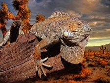 PSA Honorable Mention - Anatoliy Volokh (Ukraine)  - Iguana at sunset