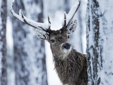 PSA Honorable Mention - David Wolfenden (Scotland)  - Snowy Antlers