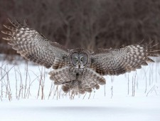 PSA Honorable Mention - Tin Sang Chan (Canada)  - Graet Gray Owl Landing