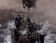 PSA Silver Medal - Sergey Agapov (Russia)  - The Great Migration of Wildebeest