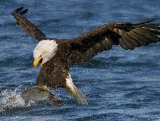 SALON Silver Medal - Dorothy Chung Ming Chan (Canada)  - Bald Eagle catching fish