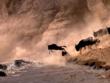 PSA Honorable Mention - Sergey Agapov (Russia)  - A Large Migration of Wildebeest