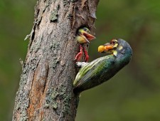 PSA Gold Medal - Graeme Guy (Malaysia)  - Coppersmith Barbets