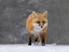 PSA Honorable Mention - Tin Sang Chan (Canada) - red Fox In Snow