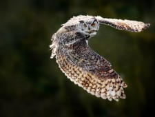 PSA Honorable Mention - Philip Chan (Canada) - Great Horned Owl in Flight